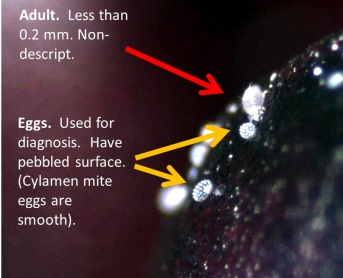 "Adult and eggs of broad mite.  Eggs have a characterisic ""speckled"" appearance that is used for diagnosis."