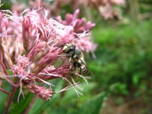 Bee foraging on a landscape plant. Photo by Dr. Elsa Youngstead, NCSU.