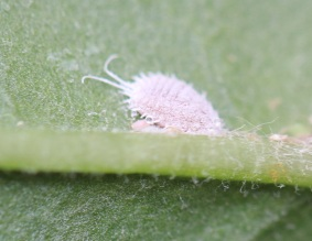 A single long-tailed mealybug on a leaf.
