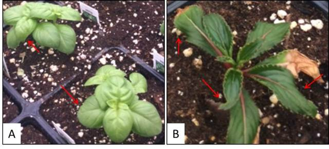 Epinasty and leaf curling in Basil and New Guinea Impatiens.