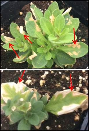 Sulfur dioxide damage on Petunia