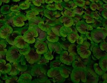 Anthocynins accumlate in geranium leaves grown under increasing blue light.