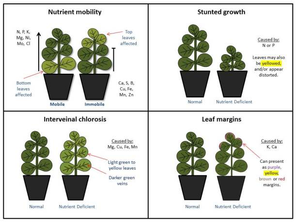 Figure 1.  Common nutrient deficiency indicators for floriculture crops.