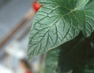 leaf-stippling-leaf-miner