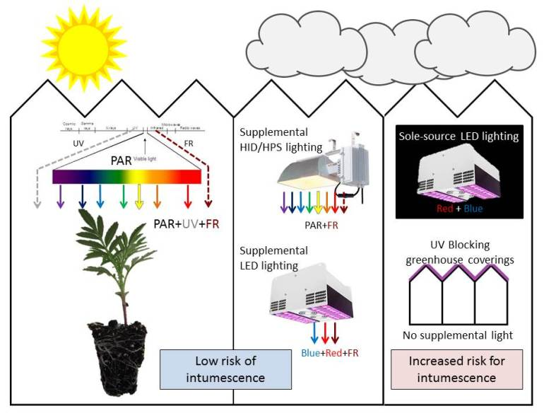 Figure 3. Sunlight and supplemental light in the greenhouse. Supplemental HID, HPS and LED lighting can help to avoid intumescence development on overcast days, if they provide some UV or FR light.