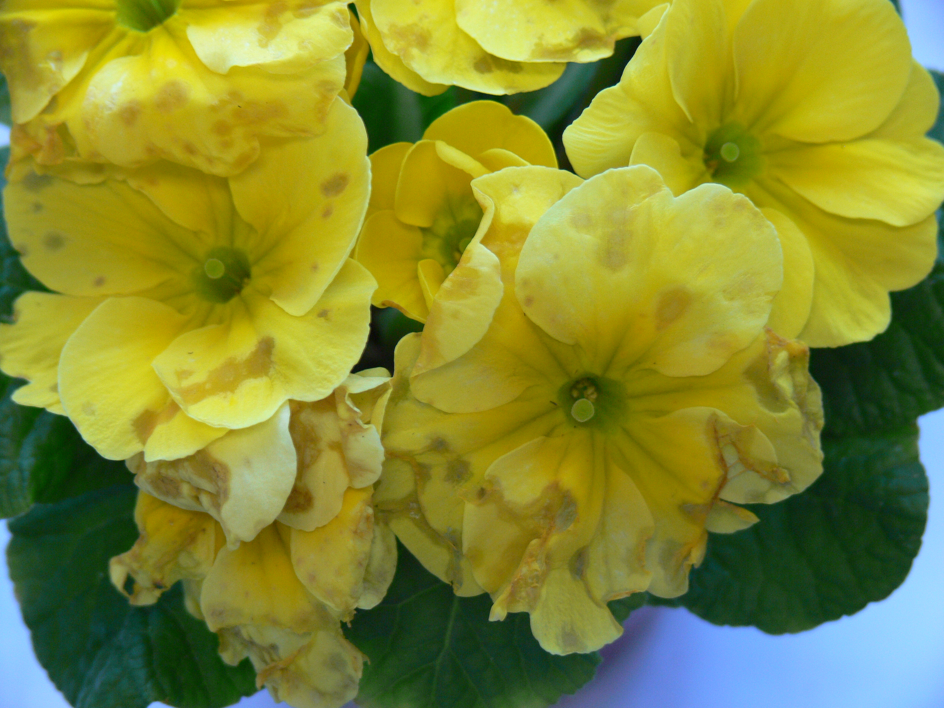 Botrytis Bumming You Out? | onfloriculture