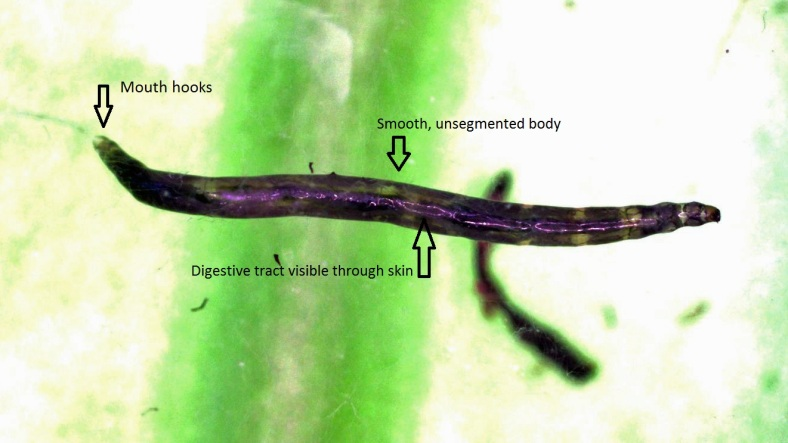 larva3_labelled