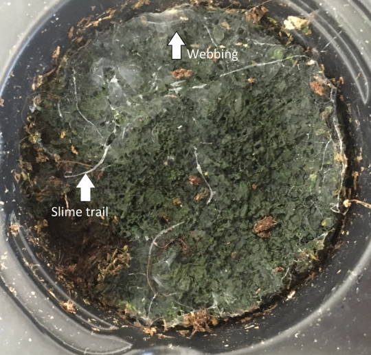 slime trail mycetophilid_labelled