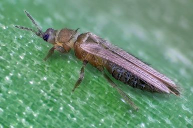 Thrips-tabaci-female-1-1024x683