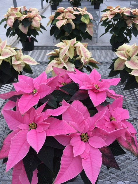poinsettia trials _pinks 2