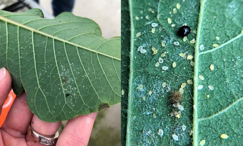 hand lens vs leaf