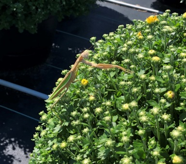 praying mantis on garden mums